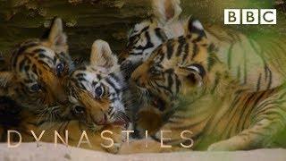 Tiger cubs play at the den | Dynasties - BBC