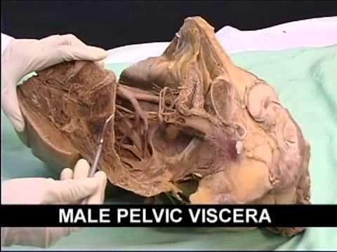 Pelvic organ anatomy