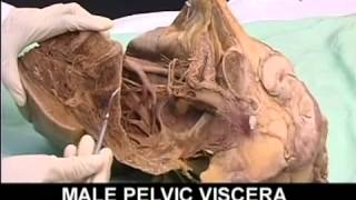 Anatomy-Pelvis and Perineum Videos-1