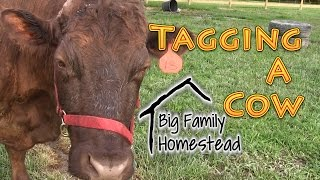 Tagging A Cow