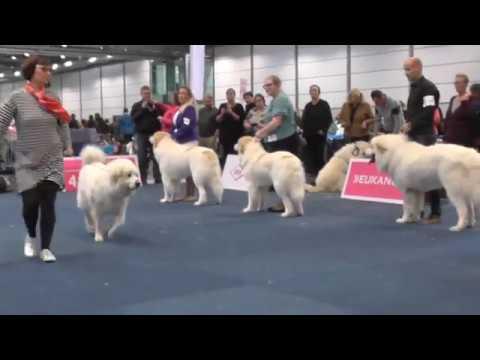 WDS2017 - Pyrenean Mountain Dog - BestOfBreed