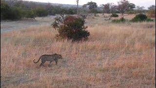 Djuma: Leopard-Hosana male moves off - 06:50 - 07/17/19 thumbnail