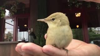 Что это за птичка? Птенец в городе дается на руки