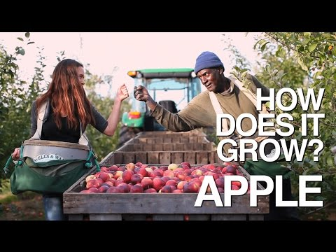 Video image: How Does it Grow? Apples