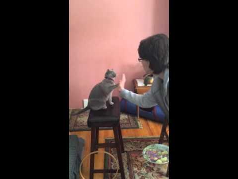 Funny Burmese cats Caleb & Mallory twirl, high-five tricks 2015