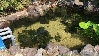 ビオトープ  庭の池 タナゴ、あゆ、本モロコ、メダカなど