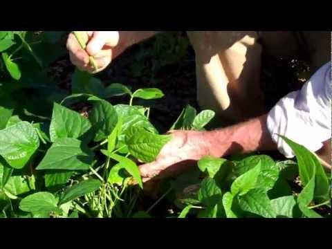 Maui Bees Farm, you pick, organic bio dynamic vegetable Garden, picking green beans