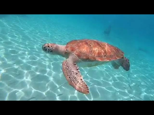 Curaçao Dreams - snorkeling with sea turtles