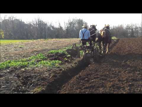 Amish farming with antique plow and Belgian horses