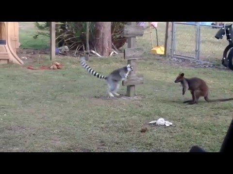 Lemur and Wallaby ..catch me if you can!