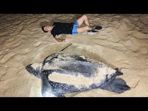 Tortugas Gigantes poniendo