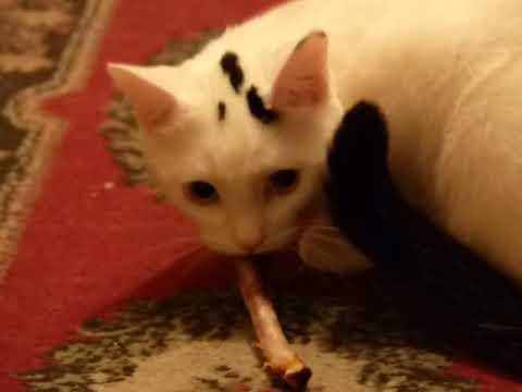 Cat defends food