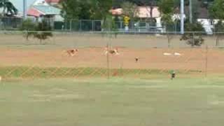 Beagles Lurecoursing