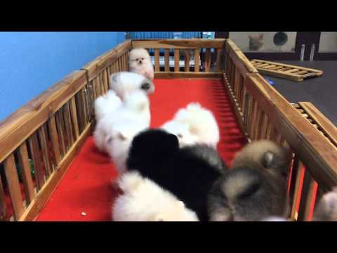 CheezePomeranian ปอมแท้,ปอมขาวแท้,ปอมสวย,หมาปอม,ปอมเมอเรเนียน,white Pomeranian,ปอมหน้าหมี,ลูกสุนัข