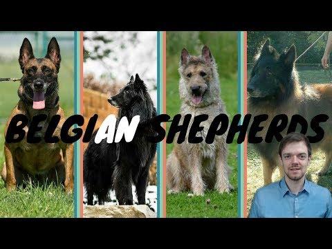 Difference Between Belgian Shepherds - Malinois - Lakenois - Tervuren - Groenendael