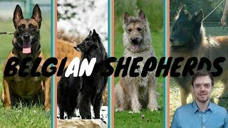 Difference Between Belgian Shepherds  Malinois  Lakenois  Tervuren  Groenendael