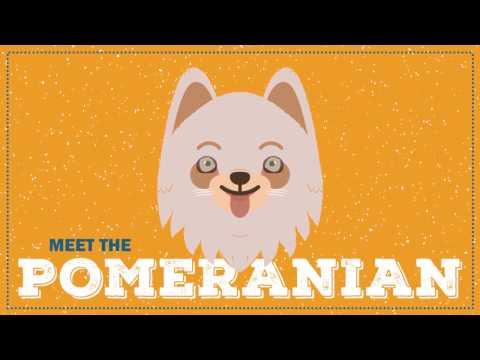 Breed Profile: The Pomeranian