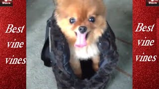 Squirrel The Pomeranian Best New Vines (all Vines) Compilation (vine) Funny Vines Hd