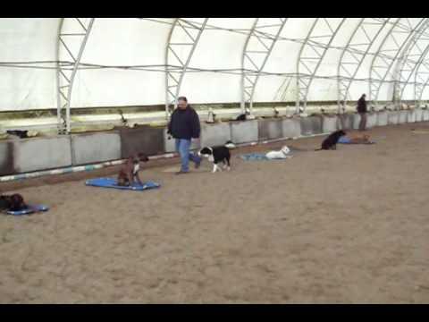 Sit Happens Dog Training, Border Collie, Zoey - Heeling