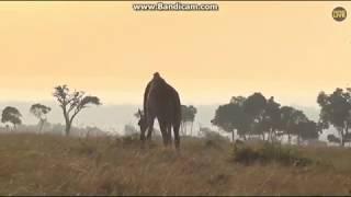 ~ Zwierzęta Afryki -  Żyrafa -   Safari     19/09/2018