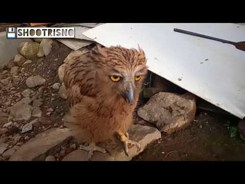 #buffyfishowl  Cara Ngasih Makan Burung Buffy Fish Owl