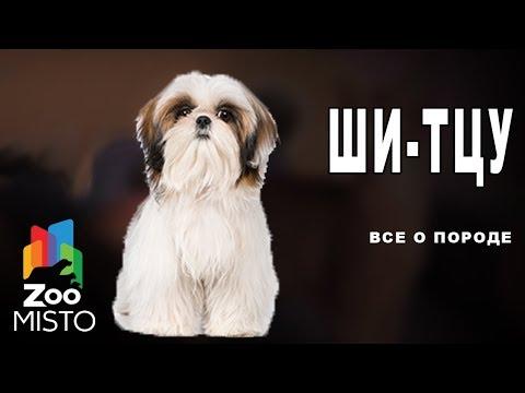 Ши-тцу - Все о породе собаки | Собака породы ши-тцу