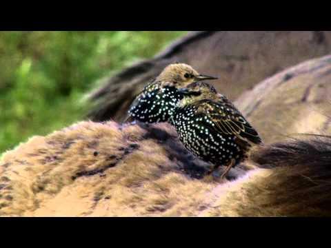 Vroege Vogels - Spreeuwen en konikpaarden