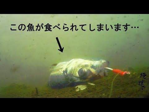 巨大魚の捕食 stingray feeding