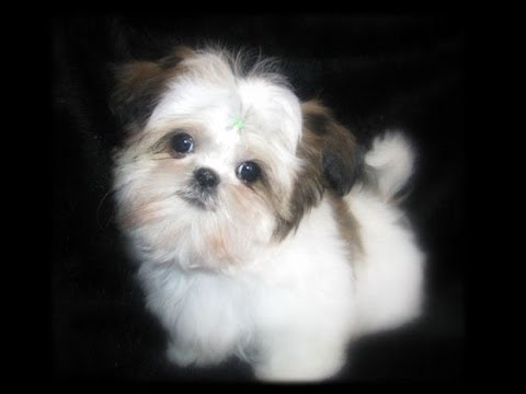 Teacup Shih Tzu Puppies Cute Shihtzu Pups Playing Cutiest