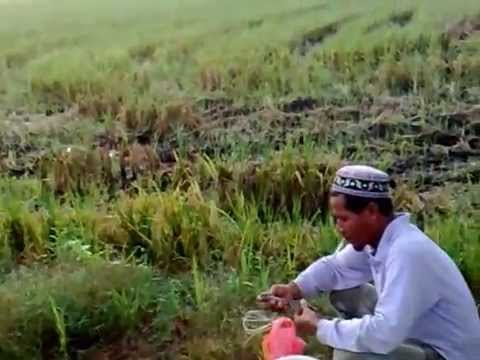 Mancing belut jumbooo,sawah kuala slangor - ViYoutube