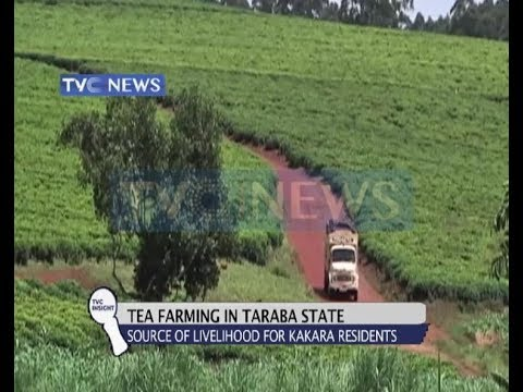 Untapped Billions In Nigeria's Tea Farming