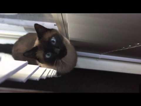 Вопрос: Где родина сиамского кота?