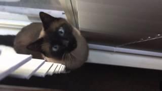 Сиамский кот разговаривает =^..^= СИАМСКИЕ КОШКИ