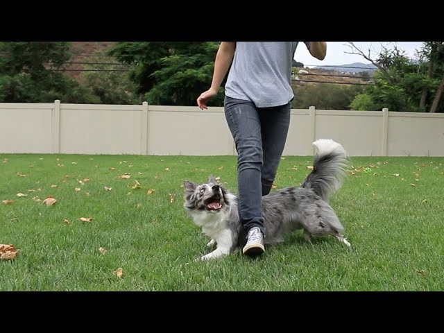 Wish masters Crawl Weave - Dog Tricks