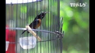 """Gambar cover Tips Memelihara Burung Kicau Kolibri Agar Juara Kontes Ala """"KOMANDO"""""""