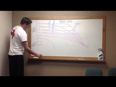 How to draw the Lumbosacral Plexus