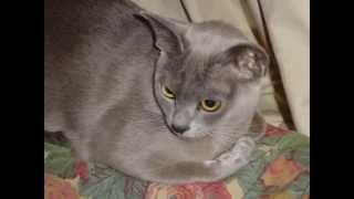 Бурма, или бурманская кошка (Burmese cat) породы кошек( Slide show)!