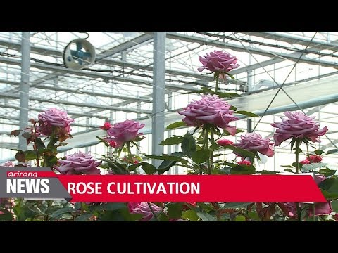 Korean-bred roses turn royalty payer into exporter