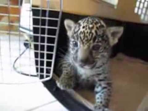 Baby Jaguar (Cub) Chews Finger Then 'Roars' a Baby Roar