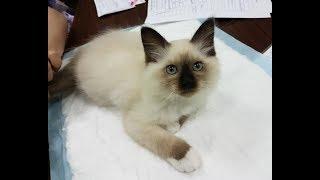 Джереми Белые лапки - бирманский кот сил-пойнт