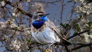 Пение птиц - звуки, которые лечат. Послушайте! Relaxing Nature Sounds- Birds Chirping