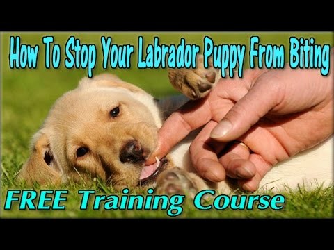 how-to-stop-a-lab-puppy-from-biting-►-free-course-◄-train-labrador-not-to-bite---labrador-retriever