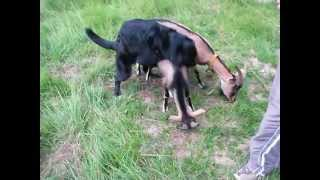 Dog Mating With Goat