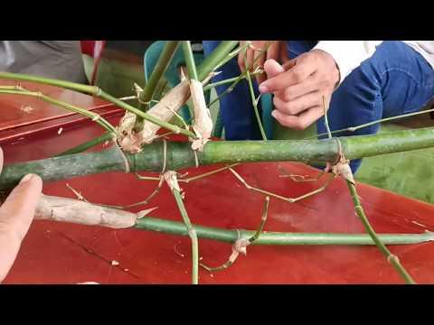 Bambu petuk langka ditemukan di aceh pekik langka YouTube