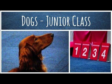 World Dog Show 2017 | Standard Dachshund long-haired (Dogs - Junior Class)