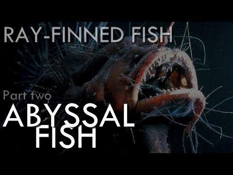 Ray Finned Fish (part2) : Abyssal Fish