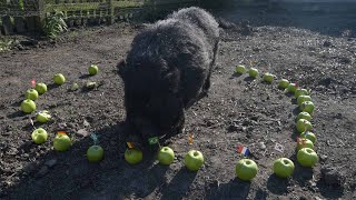 Psychic Pig Predicts World Cup Semi-Final