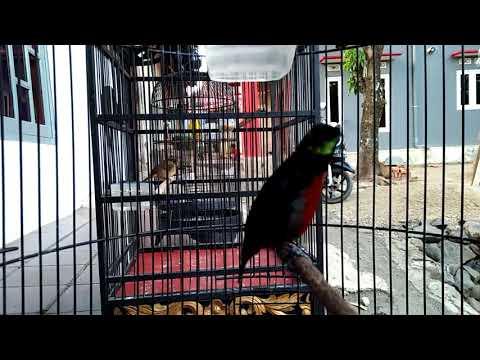 kolibri ninja nagen 10 menit bongkar isian Mp3