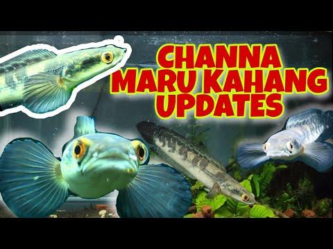 pindah-channa-marulioides-kahang-masuk-ke-tank-baru-|-channa-malaysia-|-toman-bunga-johor