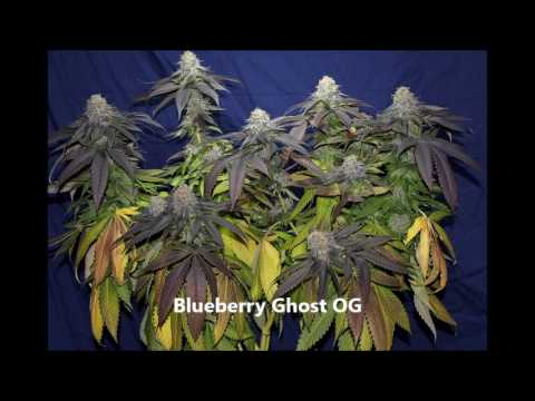 Top 10 Outdoor cannabis Seeds 2017  great choise for uk climate and northern hemisphere